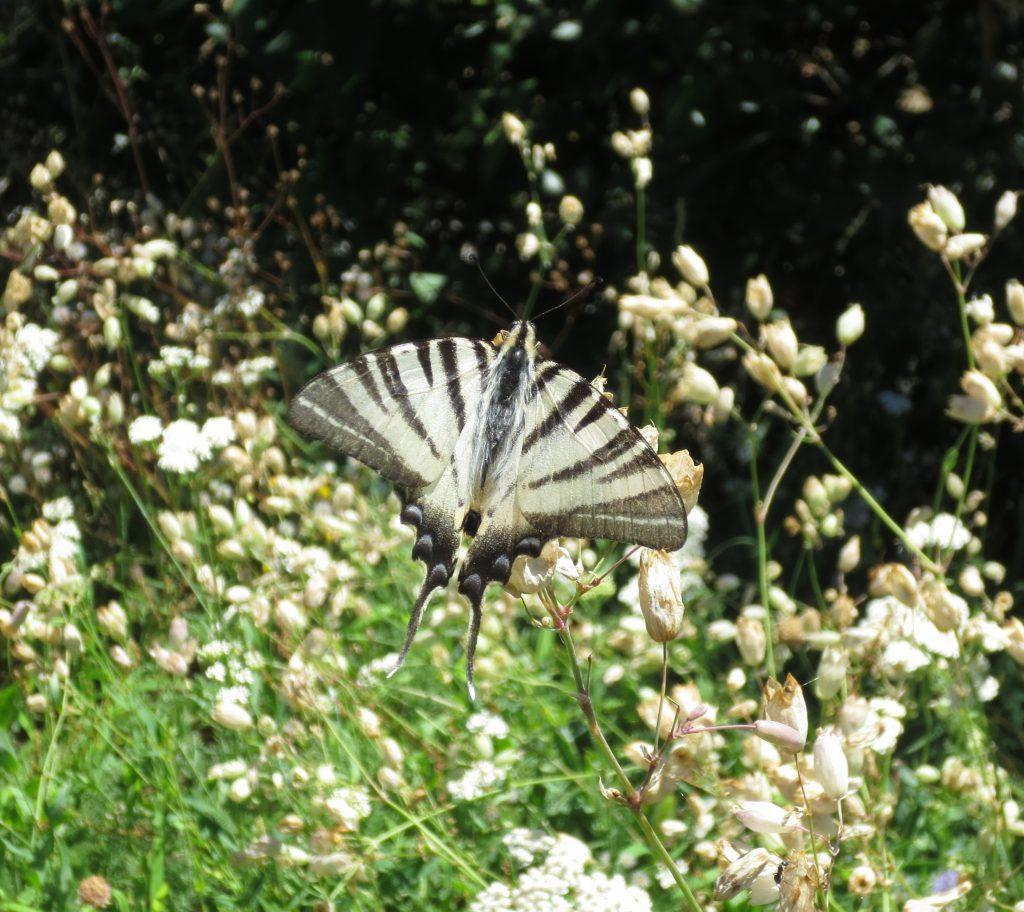 White swallowtail