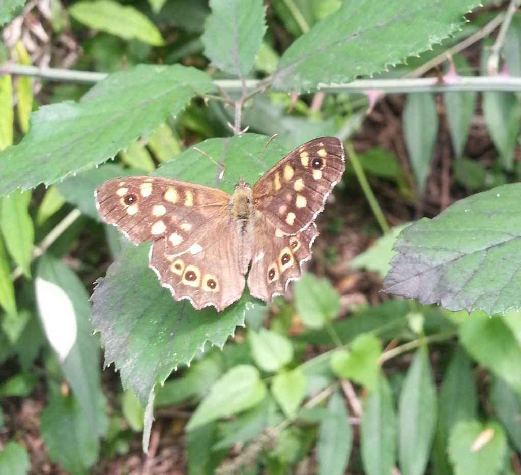 Pararge aegeria or the speckled wood butterfly