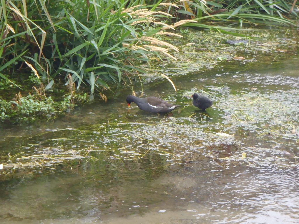 Moorhen and baby