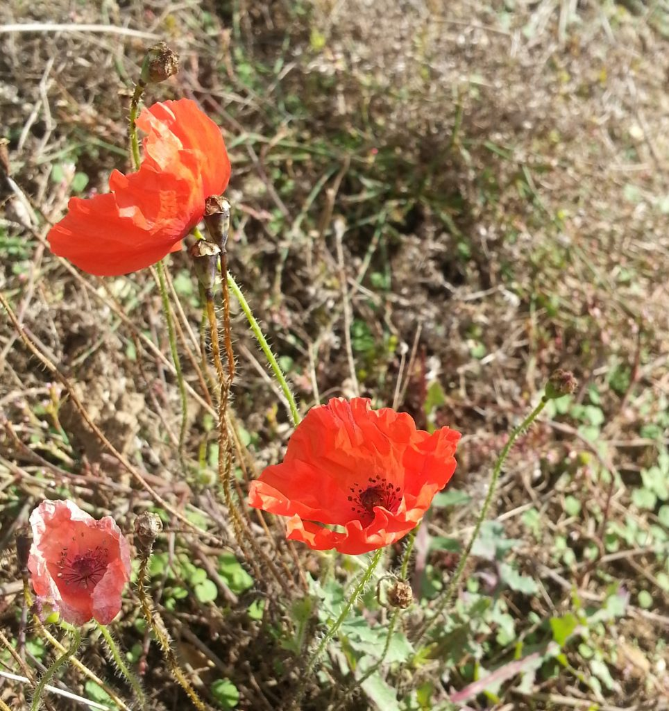 In Kentish fields where the poppies grow