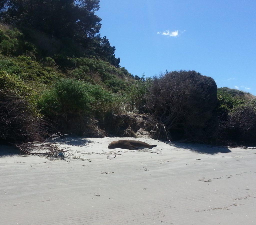 Sea lion at Papanui Inlet