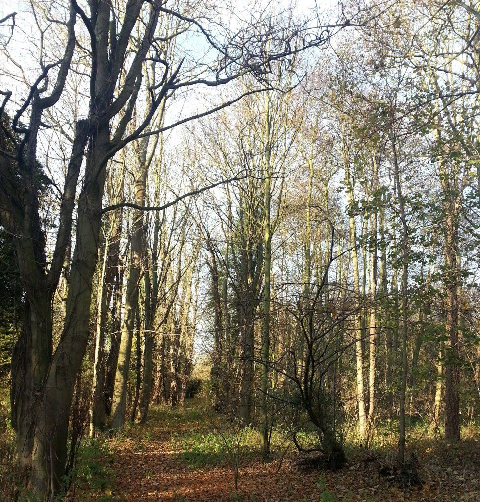 Wood in Fornham Park