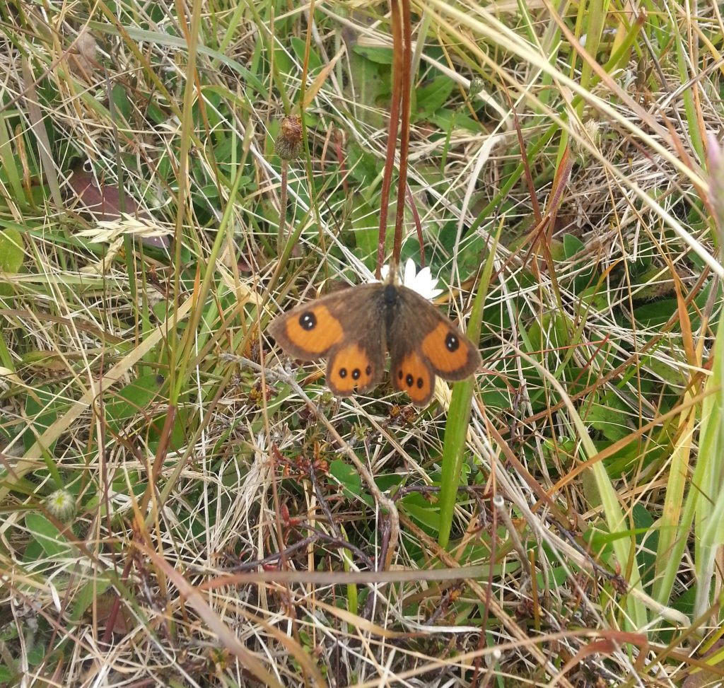 The common tussock butterfly