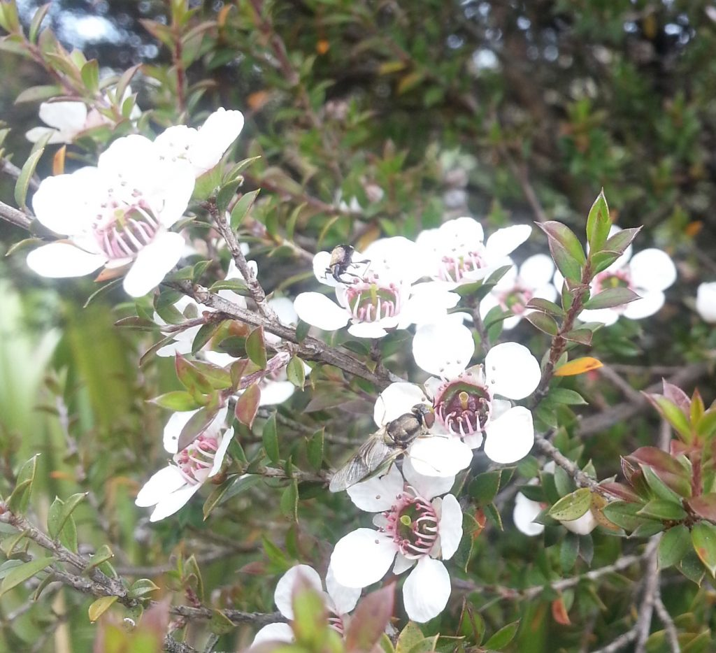 A fly and a weevil appreciate he manuka flowers