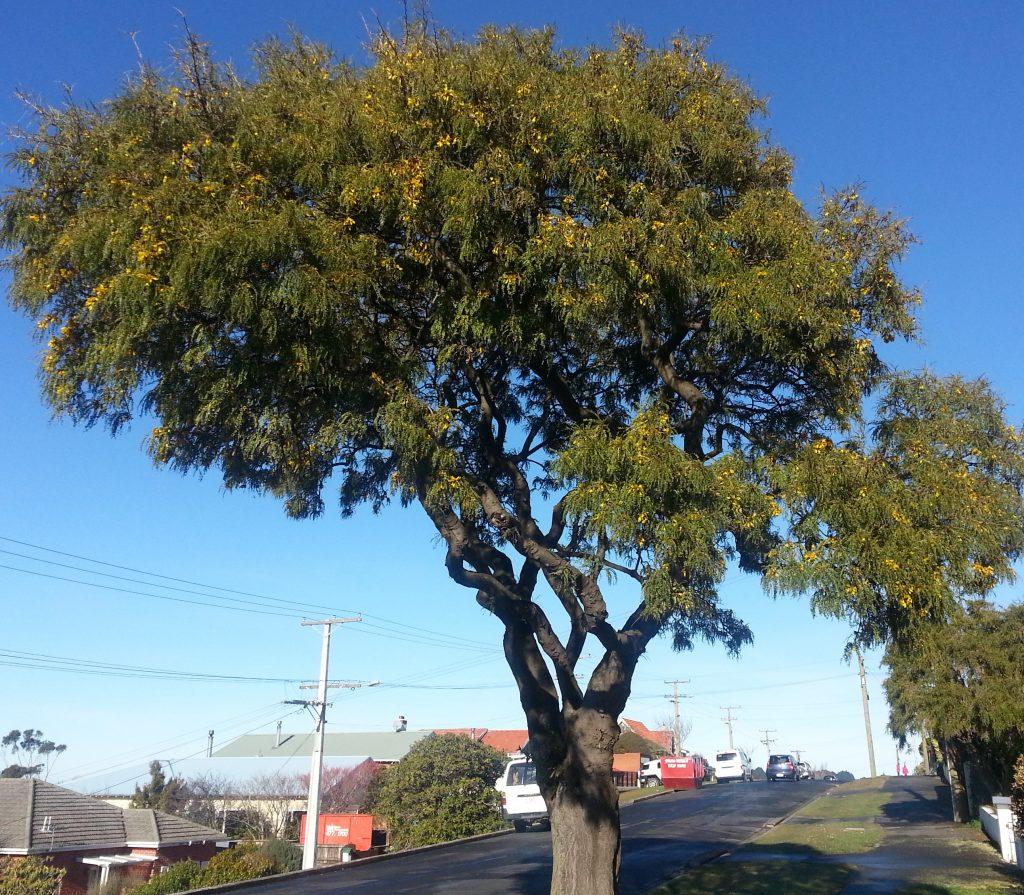 Kowhai tree, Maryhill