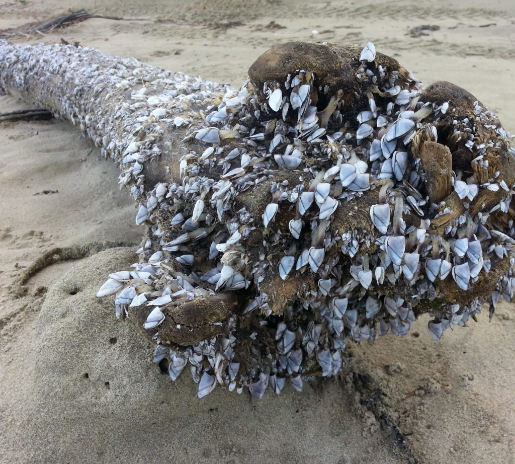 Barnacle-encrusted flotsam