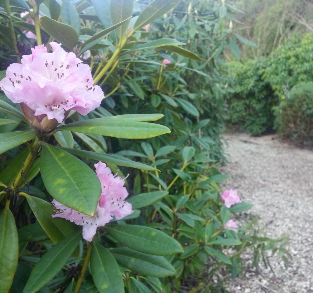 Lady Thorn Rhododendron Dell