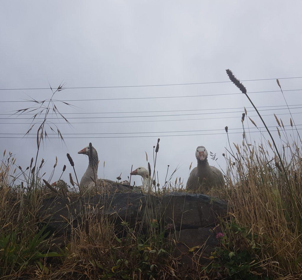 The geese of Deborah Bay
