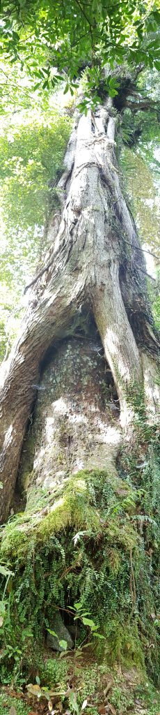 Large Matai tree