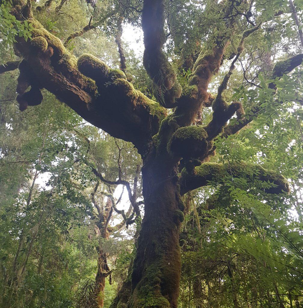 Oparara basin tree