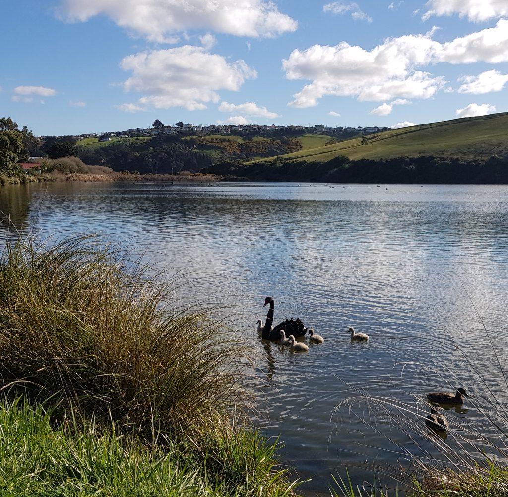 Swans at Tomahawk Lagoon