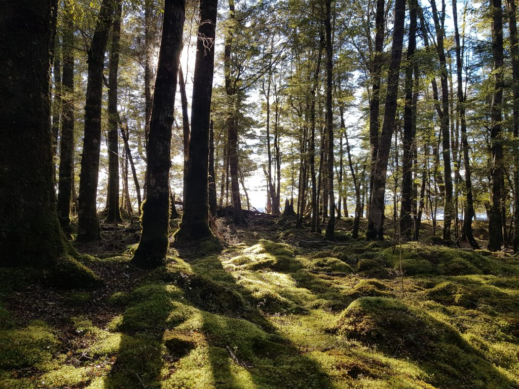 Morning light on beech forest