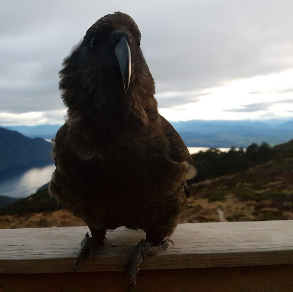 Kea at Luxmore Hut