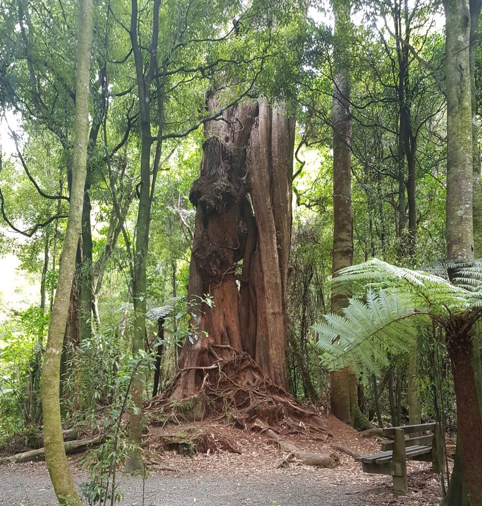 The Castle Tree at Pakuratahi Forks