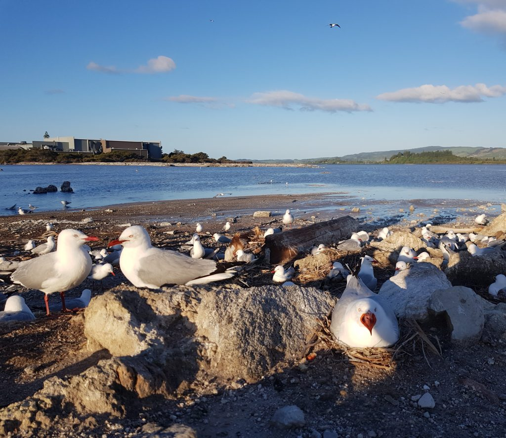 Sulfur Bay gull colony