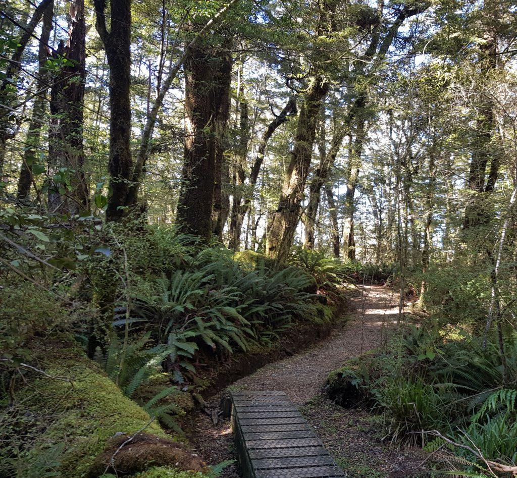 Beech forest on Kepler track