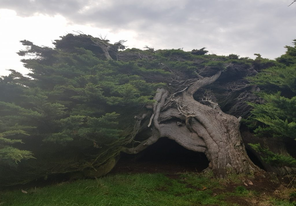 Macrocarpa tree at Waipapa Point