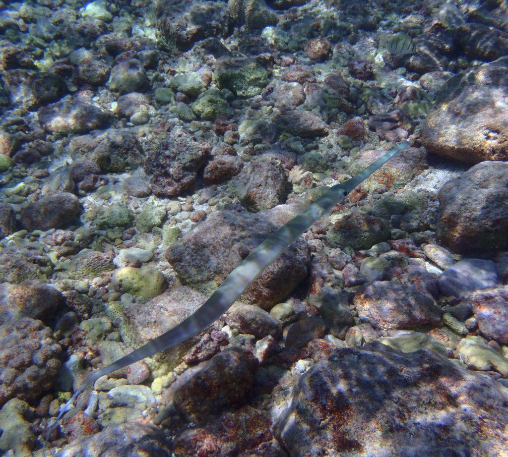 A trumpetfish or cornetfish