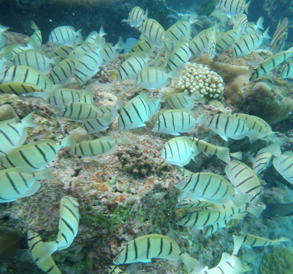 Convict surgeonfish at Limu Pools