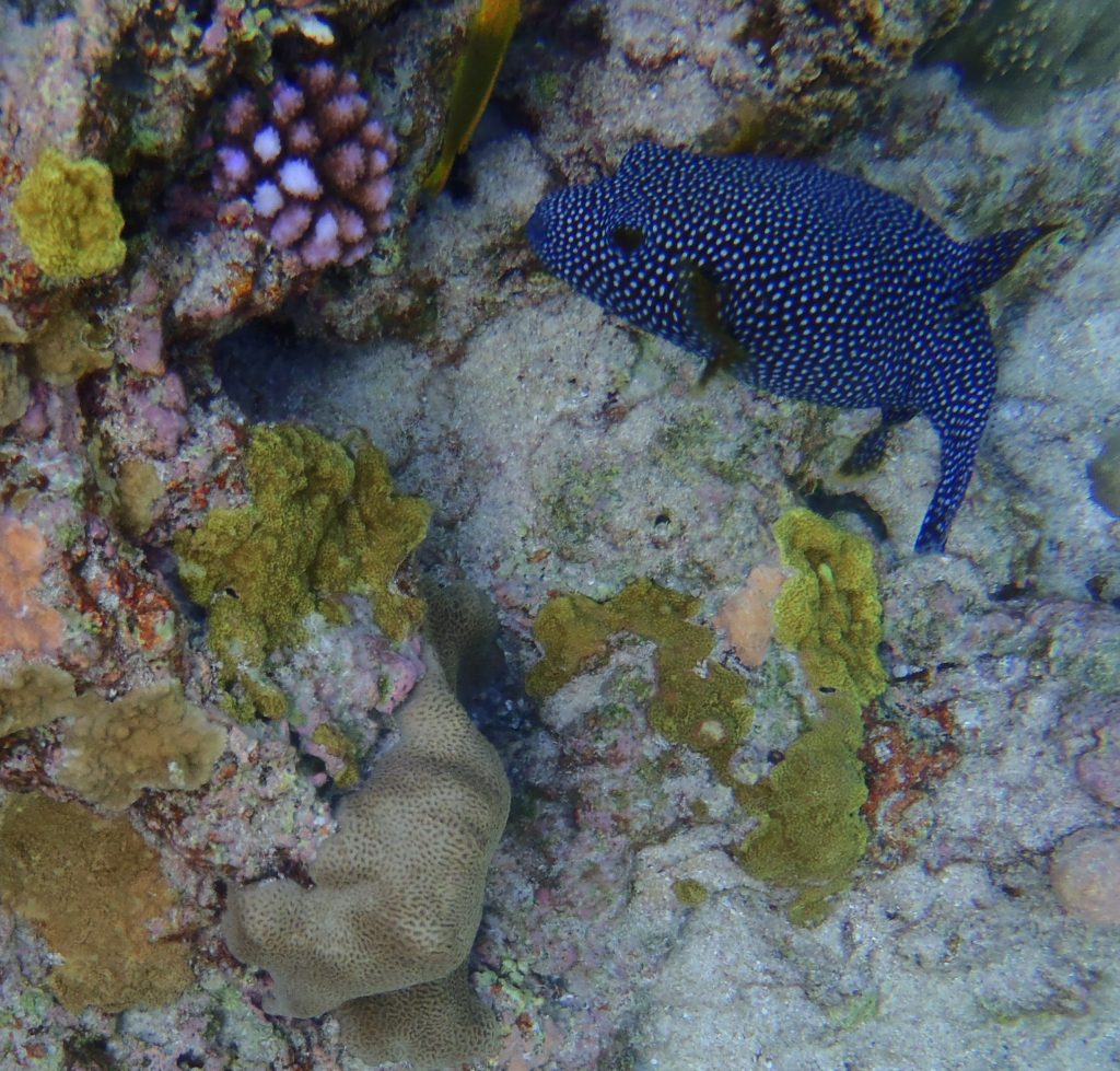 Guineafowl pufferfish at Limu Pools